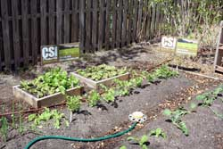 Photo of vegetables growing in raised beds.