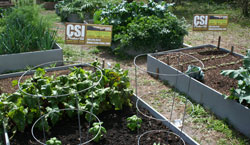 Photo of Raised Beds with vegetables growing in CSI Natural Spent Compost.