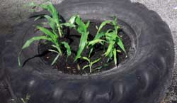Photo of plants growing in recycle truck tire.